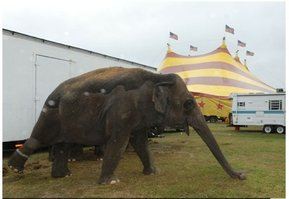 Chained elephant at Cole Bros. Circus