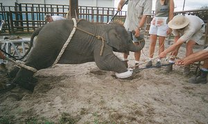 "Baby elephant  at Ringling's breeding and torture ""training"" facility."