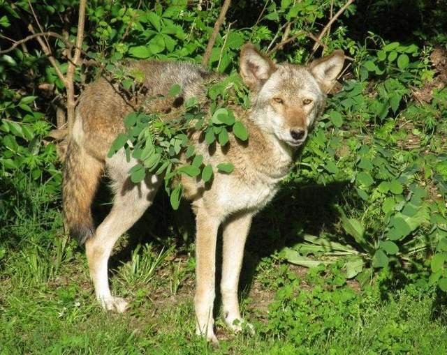 Sunset, one of two red wolves at the Jackson Zoo, has died.