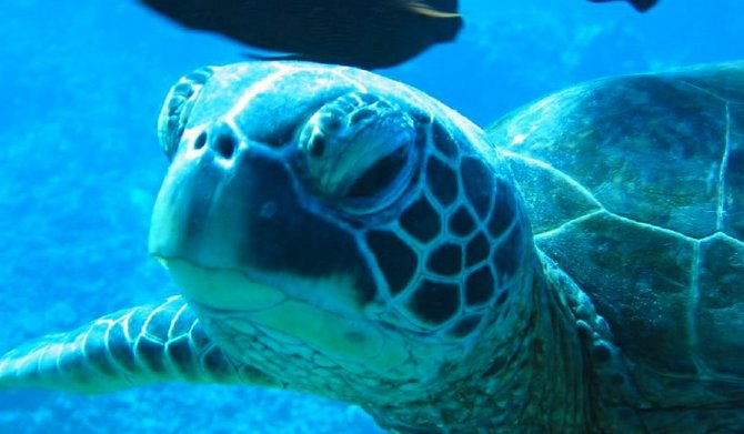 Scientists are discovering that sea turtles, long ignored by toxicologists who study wildlife, are highly contaminated with industrial chemicals and pesticides.