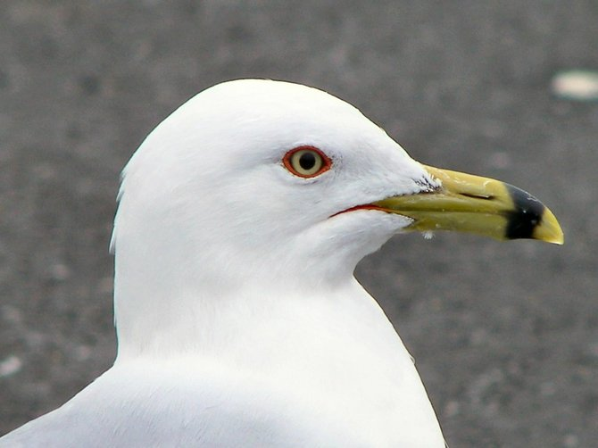 Eggs of Ring-billed Gulls collected from northern Alberta's Mamawi Lake in 2012 had 139 percent more mercury than in 2009.