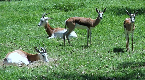 Springbok and gazelle, R.I.P.
