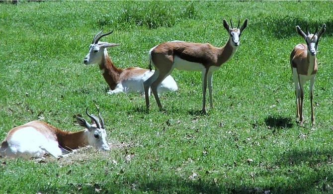 On Dec. 18, zookeepers found five dead springbok and one gazelle. Now, zoo officials want Jackson officials to help make repairs to keep feral dogs out of the park. Photo courtesy Jackson Zoo