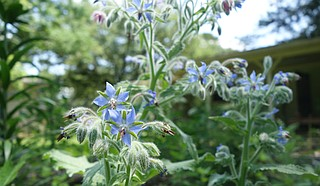 Borage ranks highly for me in both beauty and taste. A good pollinator-attracting companion in vegetable gardens, borage plants produce constellations of starry blue flowers that taste sweet, like sugar snap peas. Borage is beautiful in a salad, or candied and garnished atop sweet treats.