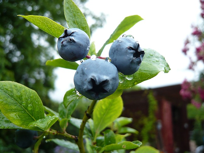Blueberries are one of the easiest fruit trees to grow.