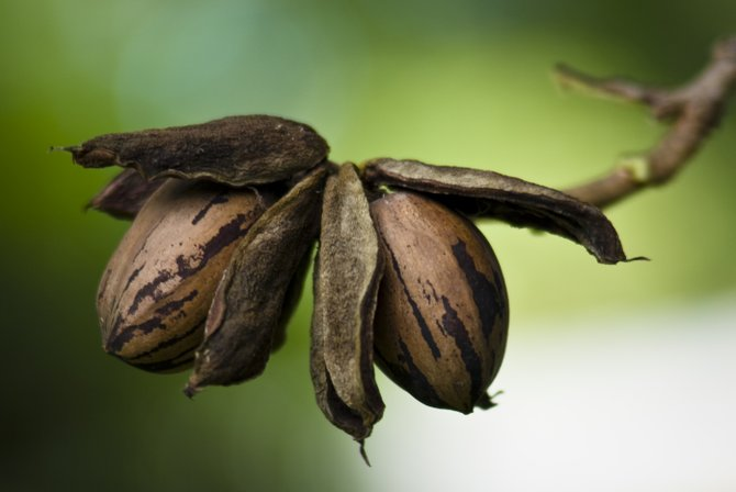 Using organic methods can help ensure your pecan trees continue to bear nuts.