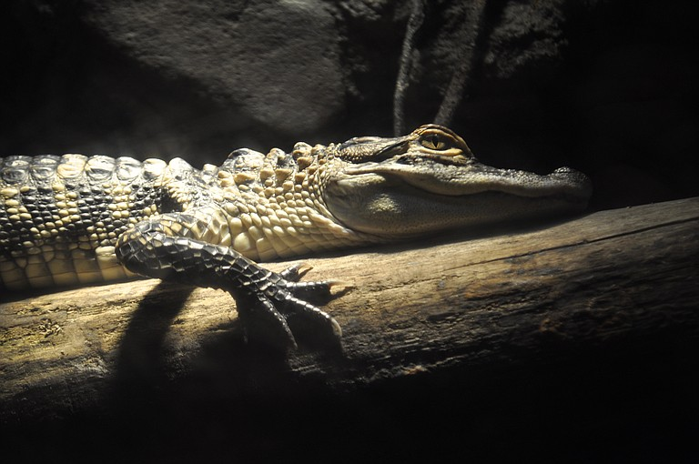 Thanks to wildlife-conservation laws, small alligators like this one can grow up to be big alligators like the three record-shattering gators caught recently in Mississippi waters.