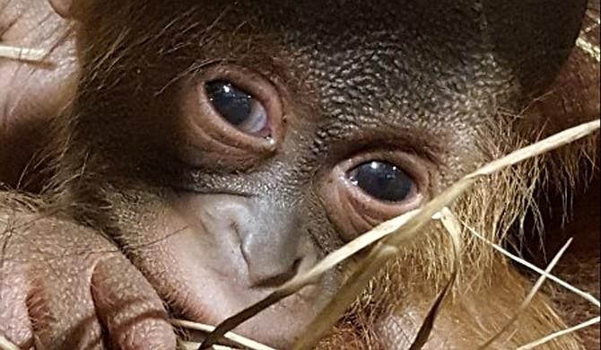 Sabah holds her newborn baby male orangutan at the Jackson Zoo. Photo courtesy Jackson Zoo