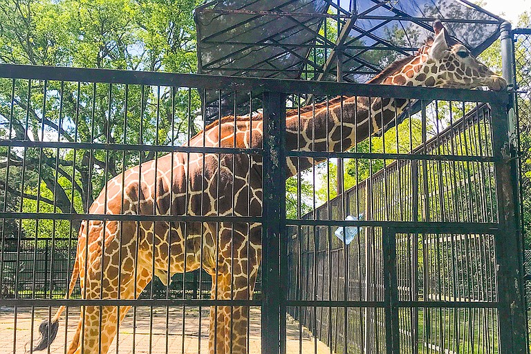 Seven animals at the Jackson Zoo belong to the City of Jackson, and four of them are out on loan. K.D. Knox the giraffe, pictured above, belongs to the Jackson Zoological Society. It also has a spider monkey named Debbie.