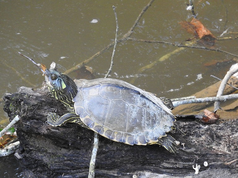 Pearl map turtle
