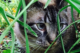 Sal the Cat serves as a mascot for the Eudora Welty House and Garden through the Instagram account, @a_cat_named_sal. Photo by Rachel Lott.